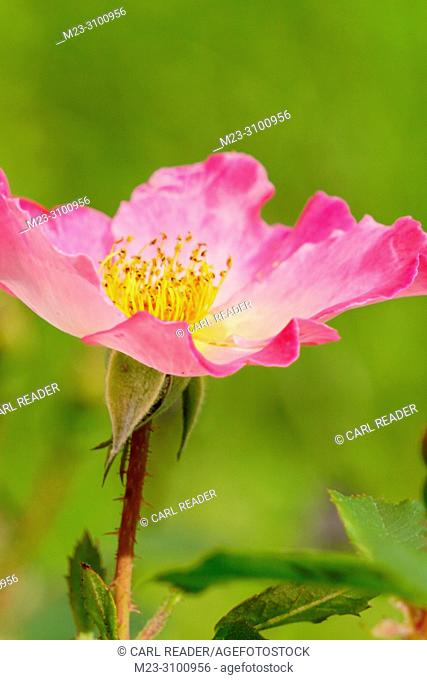 Rosa rugosa is native to eastern Asia, where it often grows in sand, Pennsylvania, USA