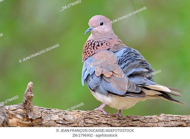 Laughing dove (Spilopelia senegalensis), adult perched on a branch, Kruger National Park, South Africa, Africa