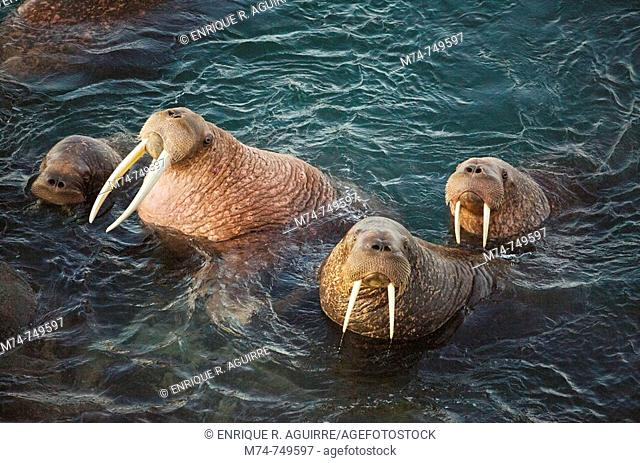 Walrus (Odobenus rosmarus divergens) coming ashore on a rock under the midnight sun, Round Island, Walrus Islands State Game Sanctuary, Bristol Bay, Alaska, USA