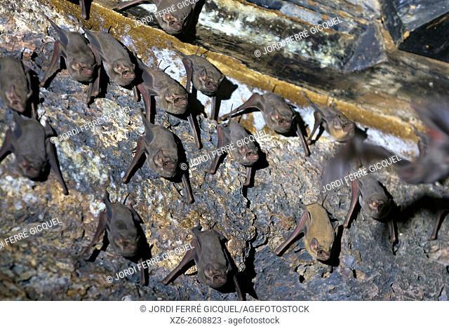 Bats on Prang Sam Yot temple, Lopburi, Thailand, Asia