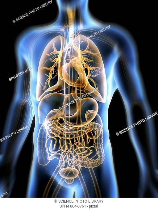 Computer artwork of the human anatomy seen from front. depicted are: Digestive system: Liver, falciform ligament, gallbladder, stomach, pancreas, appendix