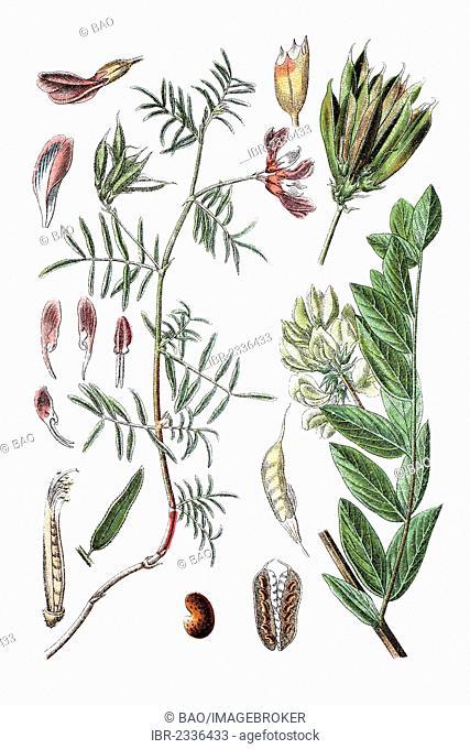 Left: Milkvetch (Astragalus arenarius), right: licorice milkvetch (Astragalus glycyphyllos), medicinal plant, historical chromolithography, ca. 1796