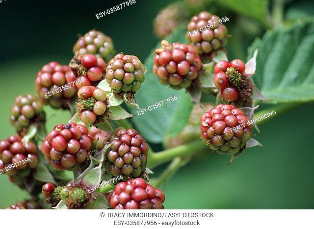 Macro shot of blackberries beginning to ripen on a branch