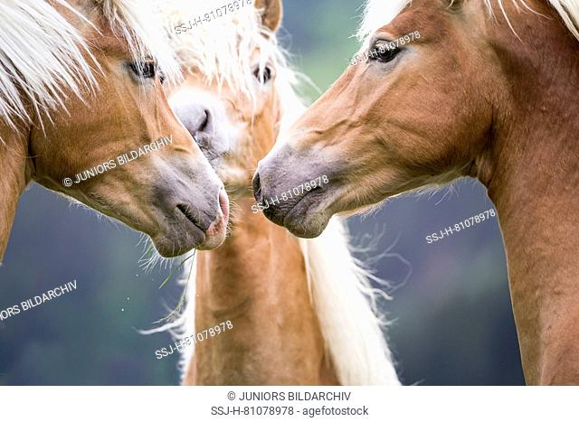 Haflinger Horse. Three juvenile stallions on a pasture, sniffing at each other. South Tyrol, Italy
