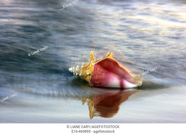 Beach conch shell