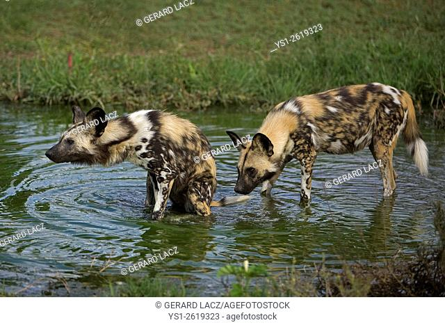 African Wild Dog, lycaon pictus at the Water Hole, Namibia