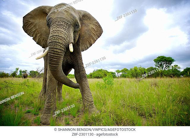 African Elephants (Loxodonta africana), Waterberg, South Africa