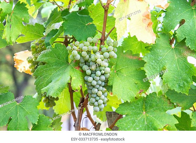 A closeup to a bunch of white wine grapes at a Vineyard in Austria