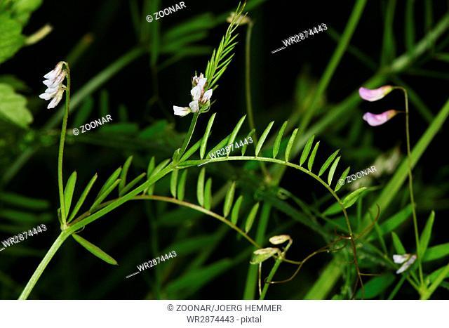 Vicia hirsuta, hairy vetch, tiny vetch