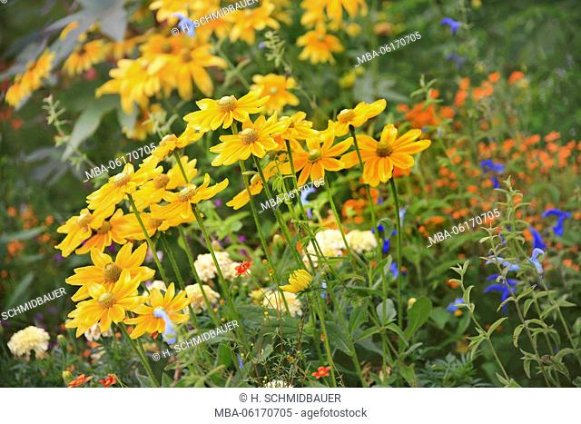Yellow coneflower, Rudbeckia fulgida, flowers, flower, mixed flowers