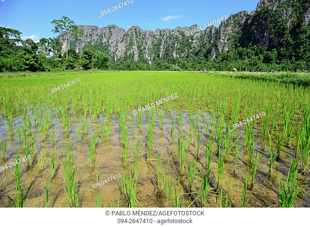 Rice fields. Surroundings to Vang Vieng, Vientiane, Laos