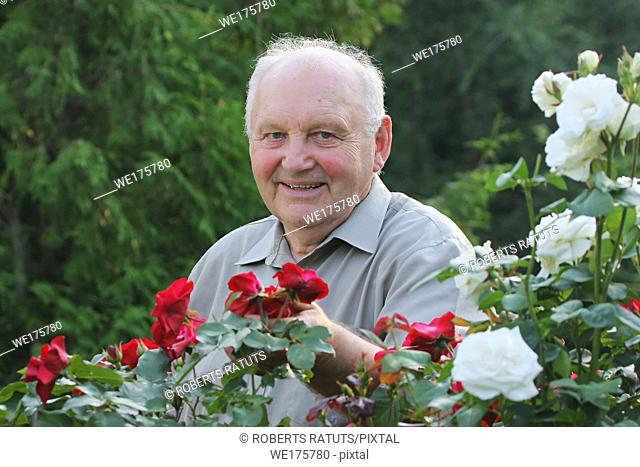Portrait of old man - grower of roses next to rose bush in his beautiful garden;