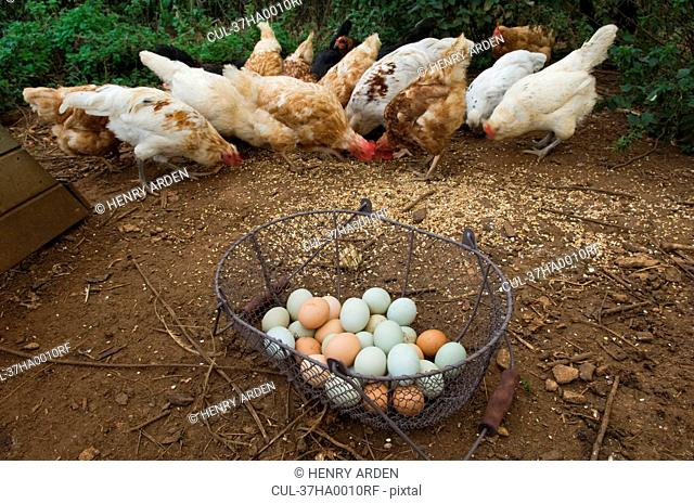 Basket of eggs with feeding chickens
