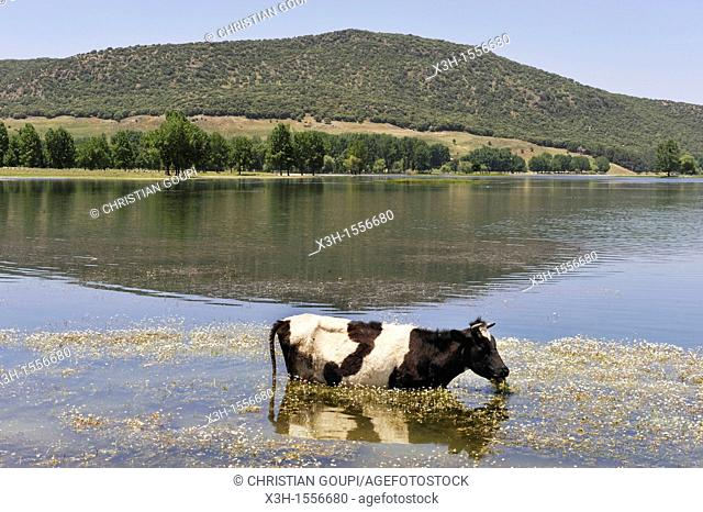 cow by the Dayet Aoua lake, around Ifrane, Middle Atlas, Morocco, North Africa