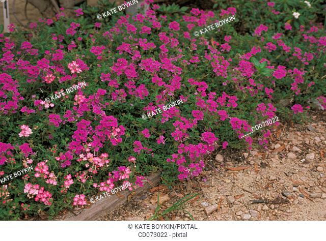 Verbenas (Verbena x hybrida)