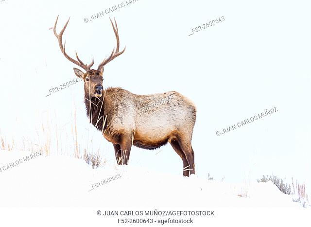 Elk or wapiti (Cervus canadensis), Yellowstone National Park, Wyoming, USA, America