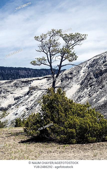 Natural sketch with tree, bush and salt hill, Yellowstone National Park, Wyoming, USA