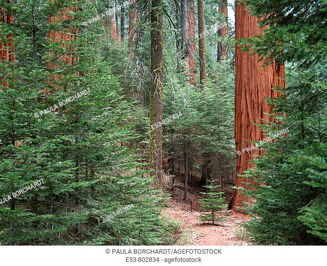 Grove of giant sequoias, Redwood Canyon Trail, Kings Canyon National Park, California, USA
