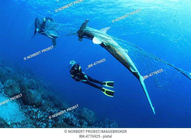 Diver considers dead Scalloped Hammerhead (Sphyrna lewini) and Galapagos shark (Carcharhinus galapagensis) in orphaned fishing net, Wolf Island