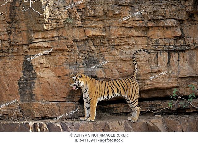 Indian or Bengal Tiger (Panthera tigris tigris) standing and yawning on a rock face, Ranthambore National Park, Rajasthan, India
