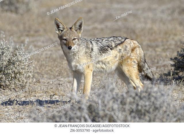 Black-backed jackal (Canis mesomelas) standing, alert, Etosha National Park, Namibia, Africa