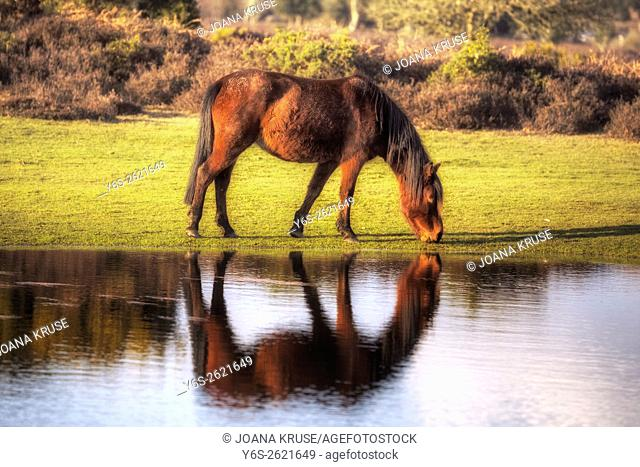 a wild New Forest pony drinking out of a pond near Lyndhurst, Hampshire, England, UK