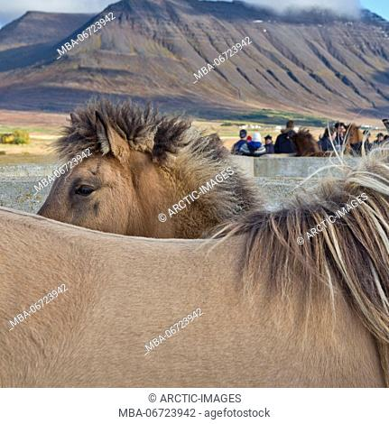 Annual Horse Round Up-Laufskalarett, Skagafjordur, Iceland Farmers keep up a long tradition of letting their horses roam around freely in the commons during the...