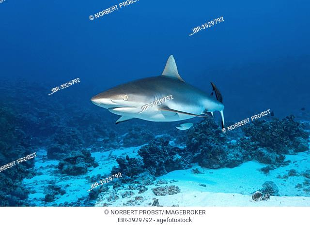 Grey Reef Shark (Carcharhinus amblyrhynchos) over a sandy sea bottom, Bora Bora, Leeward Islands, Society Islands, French Polynesia, France