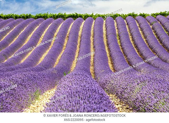 Lavander fields in the Drôme Provençale, Drôme, France