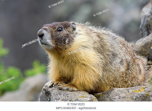 Yellow-bellied Marmot (Marmota flaviventris), British Columbia, Canada