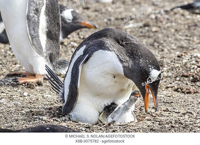 Adult gentoo penguin, Pygoscelis papua, feeding newly hatched chick on Carcass Island, Falklands