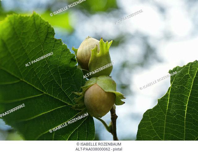 Hazelnuts on tree, close-up