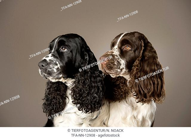 2 English Springer Spaniel