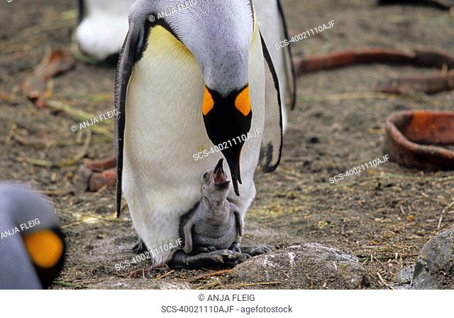 King Penguin Aptenodytes Patagonicus feeding its hungry chick Sandy Bay, Macquarie Island, Subantarctic Australia