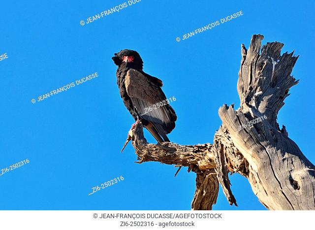 Bateleur eagle (Terathopius ecaudatus), perched on a dead tree, Kgalagadi Transfrontier Park, Northern Cape, South Africa, Africa