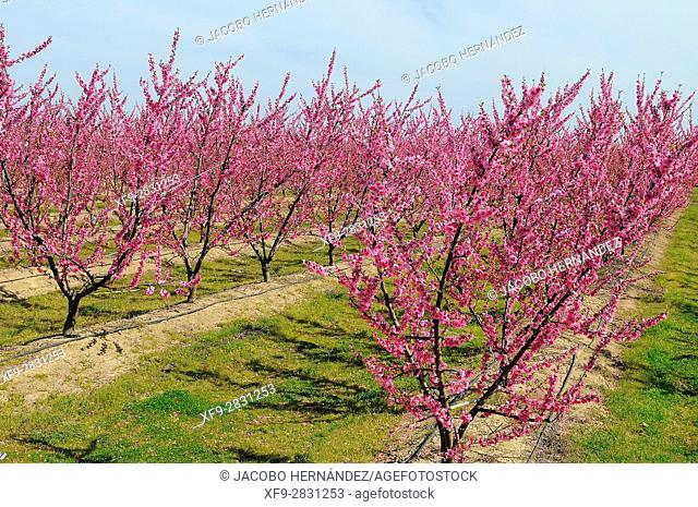 Cultivation of fruit trees in bloom.Vegas Bajas del Guadiana.Badajoz province.Extremadura .Spain