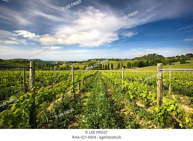 Vineyard with the hill town of Montepulciano in the distance, Tuscany, Italy, Europe
