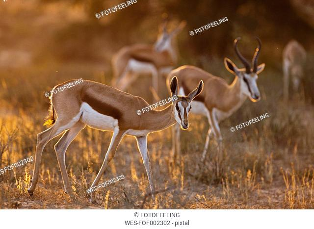 Africa, Botswana, South Africa, Kalahari, Springbok antelope in Kgalagadi Transfrontier Park