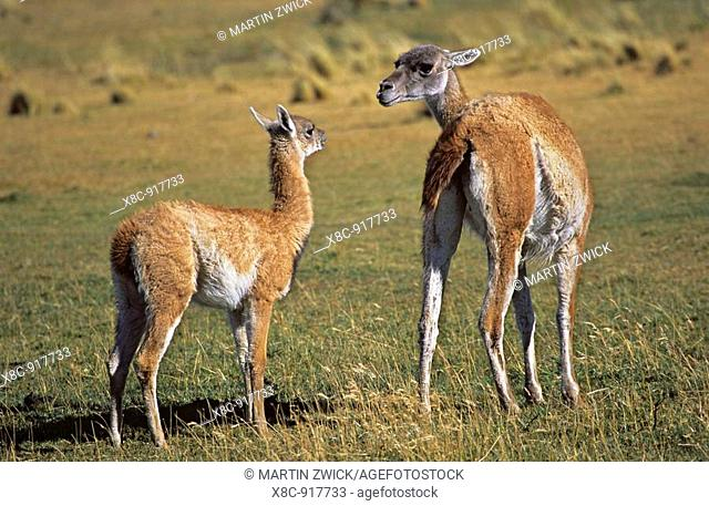 Guanaco Lama guanicoe mother and calf, child, Chile   Guanaco is a camelid and closely related to the domestic Lama and Alpaca  America, South America, Chile