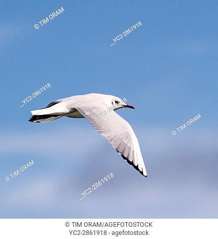 A seagull sea gull in flight in the Uk
