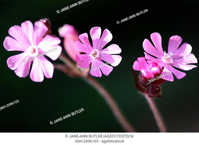 a trio of red campion wild flowers