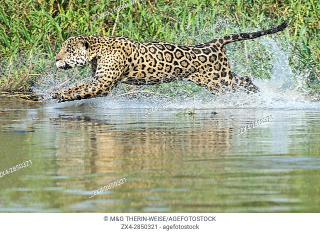 Male Jaguar (Panthera onca) running in water and chasing, Cuiaba river, Pantanal, Mato Grosso, Brazil