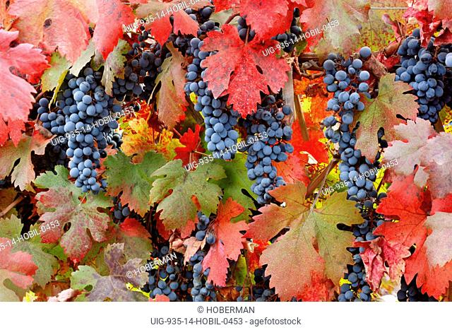 Red Grapes and Vine Leaves, Chile