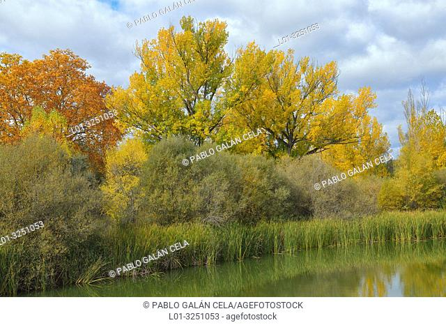Riparian vegetation in Parque regional río Manzanares. El Pardo, Madrid Province, Spain