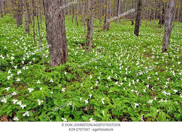 Flowering trilliums in a deciduous woodland, Mud Creek, Kagawong Lake, Manitoulin Island, Ontario, Canada