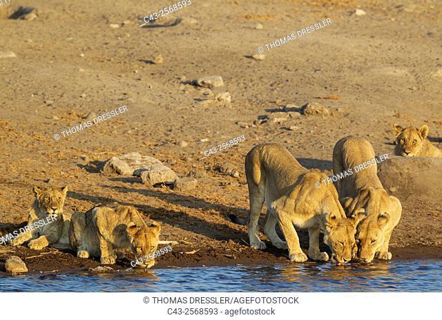 Lion (Panthera leo) - Two drinking females with three subadult male cubs at a waterhole. Etosha National Park, Namibia