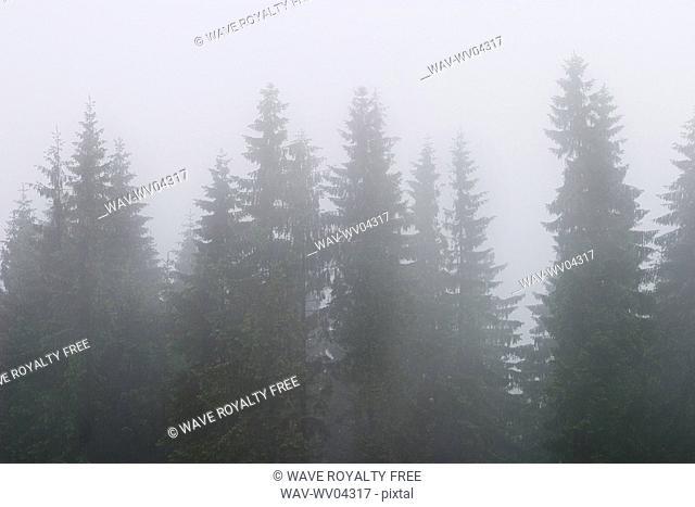 Trees seen through the fog, Tatra Mountains, Poland