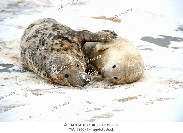 Breeding colony of Grey Seal. Halichoerus grypus. Donna Nook. Lincolnshire. UK. Europe