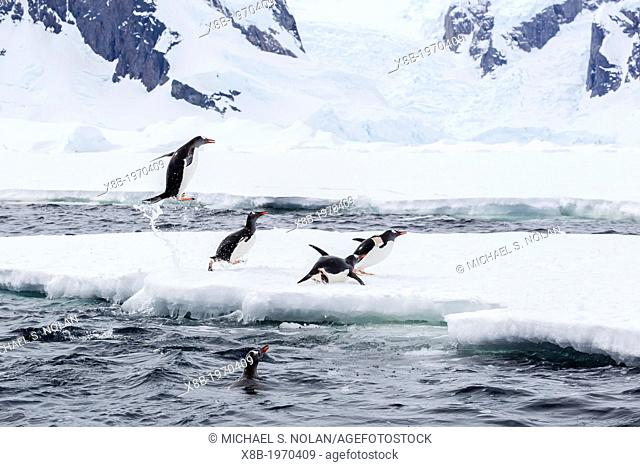 Adult gentoo penguins (Pygoscelis papua) leaping onto the fast ice near the Enterprise Islands, Antarctica, Southern Ocean