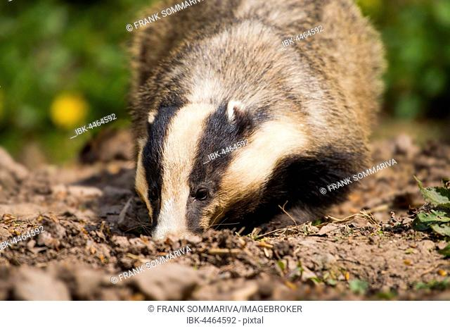 European badger (Meles meles) foraging in earth, captive, Hesse, Germany